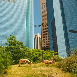 Deer on Angels Knoll in Los Angeles by Carter Greenwood. Photo by thaddywarbucks via KCET Departures